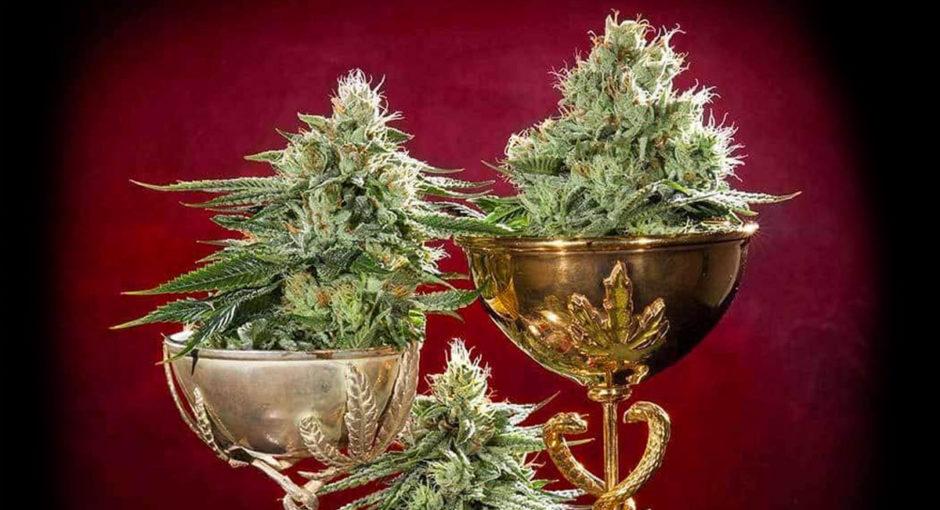 Olimpiadas-de-la-Marihuana-Amsterdam-Cannabis-Cup-crea-cuervos