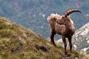 1-cabra-de-los-pirineos-10-especies-extintas-en-este-siglo