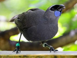 10-Kokako-de-la-isla-sur-10-especies-extintas-en-este-siglo