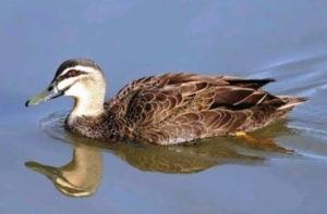 2-pato-mariana-10-especies-extintas-en-este-siglo