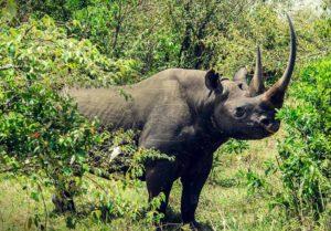 8-rinoceronte-negro-del-oeste-10-especies-extintas-en-este-siglo