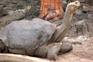 9-tortuga-de-la-isla-pinta-10-especies-extintas-en-este-siglo