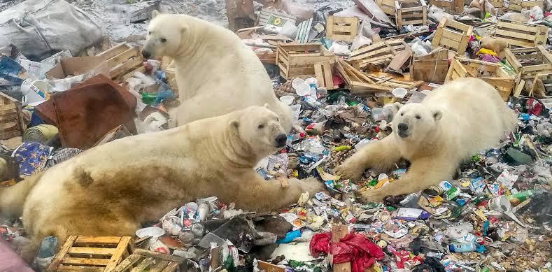 osos polares basura