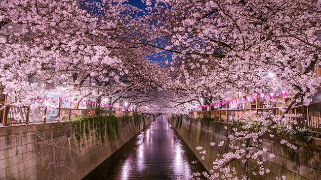 gotokyo.org-festejo-hanami-sakura-japon