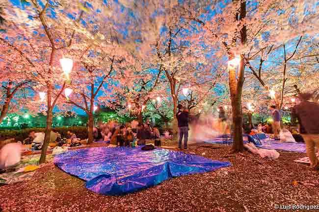 japonisimo.com-luis-rodriguez-festejo-hanami-sakura-japon
