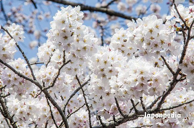 japonpedia.com-festejo-hanami-sakura-japon
