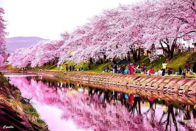 revistanuve.com-festejo-hanami-sakura-japon