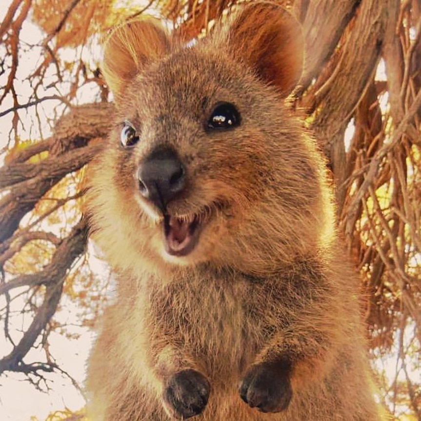 quokka-animal-mas-feliz-del-mundo-mobile