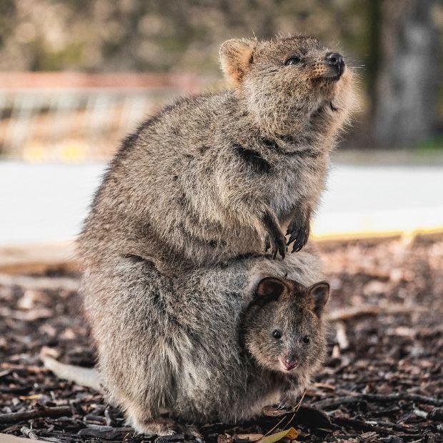quokka-marsupial