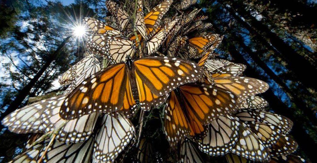 quetzalpapalot-mariposa-monarca